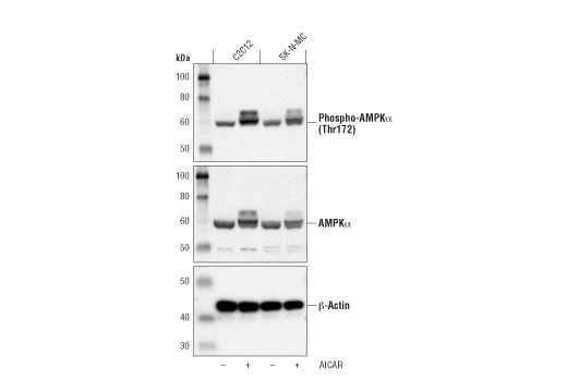 Chemical Modulators - AICAR - 25 mg #9944 - Metabolism