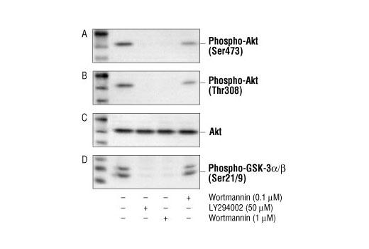 Chemical Modulators - Wortmannin - 1 mg #9951
