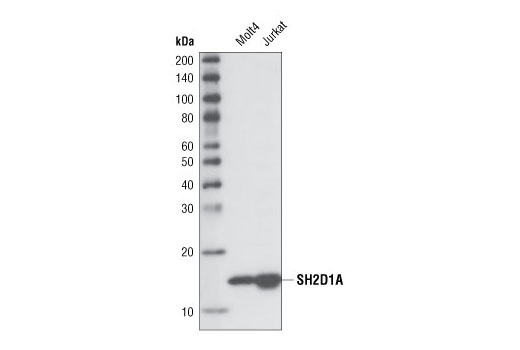 Monoclonal Antibody - SH2D1A (XLP 1D12) Rat mAb - Flow Cytometry, Western Blotting, UniProt ID O60880, Entrez ID 4068 #2805