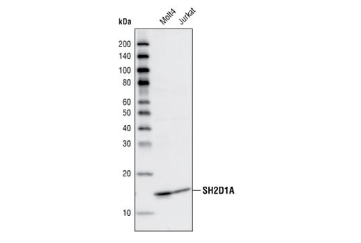 Polyclonal Antibody Immunoprecipitation sh3/sh2 Adaptor Activity - count 14