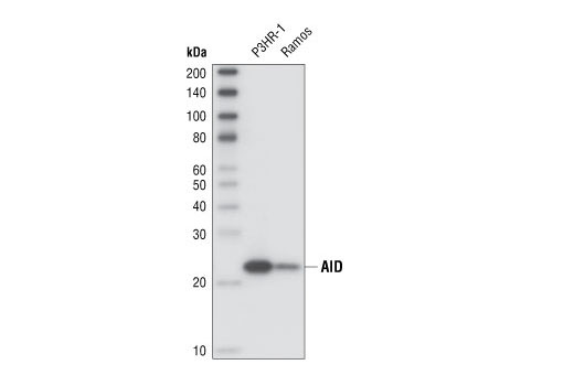 Monoclonal Antibody - AID (EK2 5G9) Rat mAb - Western Blotting, UniProt ID Q9GZX7, Entrez ID 57379 #4959, Aid