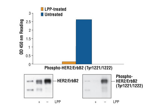 Figure1: Phosphorylation of HER2/ErbB2 at Tyr1221/1222 detected by PathScan® Phospho-HER2/ErbB2 (Tyr1221/1222) Sandwich ELISA kit #7148. HER2/ErbB2 receptor kinases in Calu-3 cells are known to be constitutively activated. Treatment of Calu-3 cell lysates with λ protein phosphatase (37ºC for 60 minutes) abolished the phosphorylation of HER2/ErbB2 in the lysates shown in both sandwich ELISA and Western analysis. OD 450 readings are shown in the top figure, while the corresponding Western blots, using Phospho-HER2/ErbB2 (Tyr1221/1222) Antibody #2243 (right panel) or HER2/ErbB2 Antibody #2242 (left panel), is shown in the bottom figure.