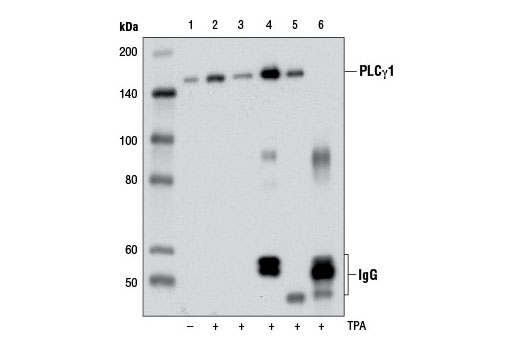 Immunoprecipitation (IP)/Western blot analysis of extracts from serum-starved HeLa cells, untreated (-) or treated (+) with TPA #4174 (100 nM, 15 min) prior to lysis in SDS (lanes 1 and 2) or IP lysis buffer (lane 3, TPA-treated only). IP Lysates were then subjected to immunoprecipitation with Phospho-PLCγ1 (Ser1248) (D25A9) Rabbit mAb (lane 4), PLCγ1 (D9H10) XP<sup>® </sup>Rabbit mAb #5690 (lane 5), or Normal Rabbit IgG #2729 (lane 6). The western blot was probed using Phospho-PLCγ1 (Ser1248) (D25A9) Rabbit mAb. Lane 3 represents 10% input.