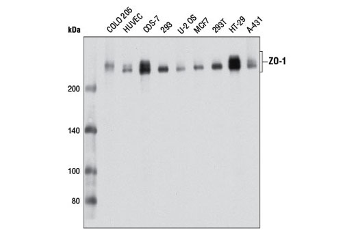 Western Blotting Image 3 - Tight Junction Antibody Sampler Kit