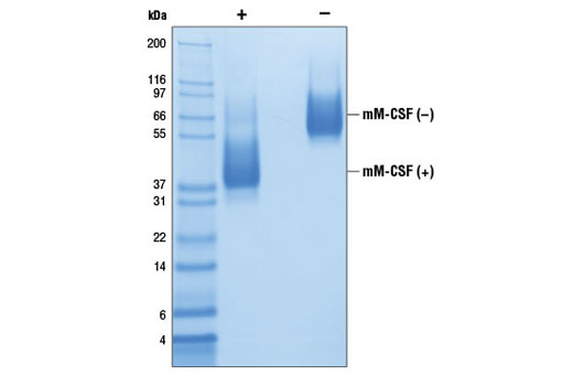 The purity of recombinant mM-CSF was determined by SDS-PAGE of 6 µg reduced (+) and non-reduced (-) recombinant mM-CSF and staining overnight with Coomassie Blue.