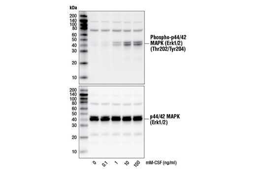 Western blot analysis of extracts from M-NFS-60 cells, untreated or treated with mM-CSF for 10 minutes, using Phospho-p44/42 MAPK (Erk1/2) (Thr202/Tyr204) (D13.14.4E) XP<sup>®</sup> Rabbit mAb #4370 (upper) and p44/42 MAPK (Erk1/2) (137F5) Rabbit mAb #4695 (lower).
