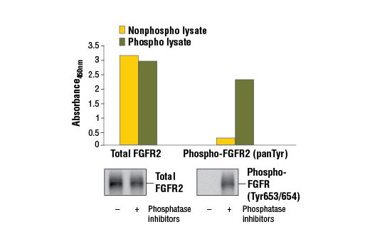 Figure 1. Constitutive phosphorylation of FGFR2 in KATO III cells lysed in the presence of phosphatase inhibitors* (phospho lysate) is detected by PathScan<sup>®</sup> Phospho-FGFR2 (panTyr) Sandwich ELISA Kit #7954 (upper, right). In contrast, a low level of phospho-FGFR2 protein is detected in KATO III cells lysed in the absence of phosphatase inhibitors (nonphospho lysate). Similar levels of total FGFR2 protein from both nonphospho and phospho lysates are detected by PathScan<sup>®</sup> Total FGFR2 Sandwich ELISA Kit #7939 (upper, left). Absorbance at 450 nm is shown in the top figure while corresponding western blots using Phospho-FGF Receptor (Tyr653/654) Antibody #3471 (right) or a total FGFR2 Rabbit mAb (left) are shown in the bottom figure. *Phosphatase inhibitors include sodium pyrophosphate, β-glycerophosphate, and Na<sub>3</sub>VO<sub>4</sub>.
