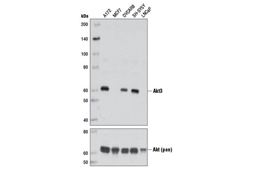 Western blot analysis of extracts from various cell lines using Akt3 (L47B1) Mouse mAb (upper) and Akt (pan) (40D4) Mouse mAb #2920 (lower).
