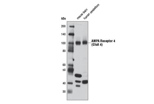 Monoclonal Antibody - AMPA Receptor 4 (GluA 4) (D19G9) Rabbit mAb, UniProt ID P48058, Entrez ID 2893 #8010, Neuroscience