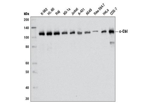 Monoclonal Antibody - c-Cbl (D4E10) Rabbit mAb - Immunoprecipitation, Western Blotting, UniProt ID P22681, Entrez ID 867 #8447, Protein Stability