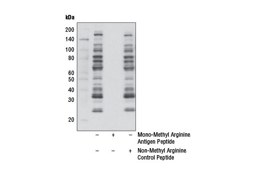 Western blot analysis of extracts from HCT 116 cells using Mono-Methyl Arginine (R*GG) (D5A12) Rabbit mAb. Specific signals are blocked by mono-methyl arginine antigen peptide, but not by non-methyl arginine control peptide.