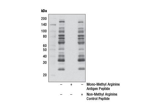 Monoclonal Antibody - Mono-Methyl Arginine (R*GG) (D5A12) Rabbit mAb - 100 µl #8711 - Primary Antibodies