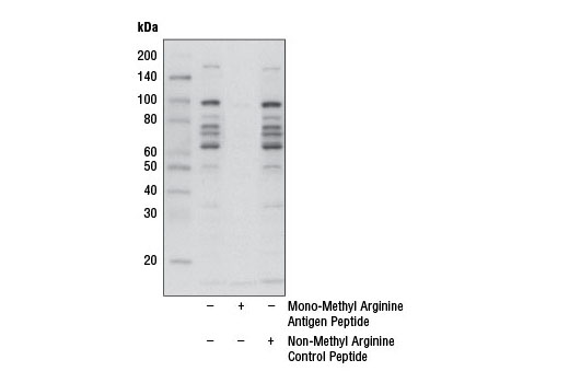 Western Blotting Image 2: Mono-Methyl Arginine [mme-R] MultiMab™ Rabbit mAb mix