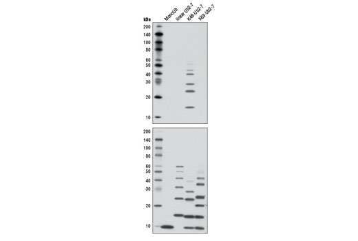 Western blot analysis of recombinant monoubiquitin (MonoUb), linear unbranched ubiquitin chain (Ub2-7), K48-linked polyubiquitin (K48-Ub2-7) and K63-linked polyubiquitin (K63-Ub2-7), using K48-linkage Specific Polyubiquitin (D9D5) Rabbit mAb (upper) and Ubiquitin (P4D1) Mouse mAb #3936 (lower). Ubiquitin chains range from 2 to 7 in length.