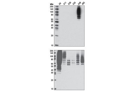 Western blot analysis of six distinct recombinant polyubiquitin chains using K48-linkage Specific Polyubiquitin (D9D5) Rabbit mAb (upper) and Ubiquitin (P4D1) Mouse mAb #3936 (lower).