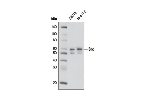 Western blot analysis of extracts from C2C12 and H-4-II-E cells using Src (36D10) Rabbit mAb (Biotinylated).