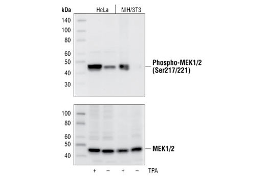 Western blot analysis of extracts from untreated or TPA-treated HeLa and NIH/3T3 cells, using Phospho-MEK1/2 (Ser217/221) (41G9) Rabbit mAb (upper), or MEK1/2 Antibody #9122 (lower).