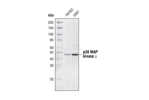Image 8: p38 MAPK Isoform Activation Antibody Sampler Kit
