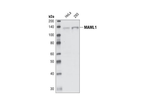 Western blot analysis of total cell lysates from HeLa and 293 cells, using MAML1 antibody.