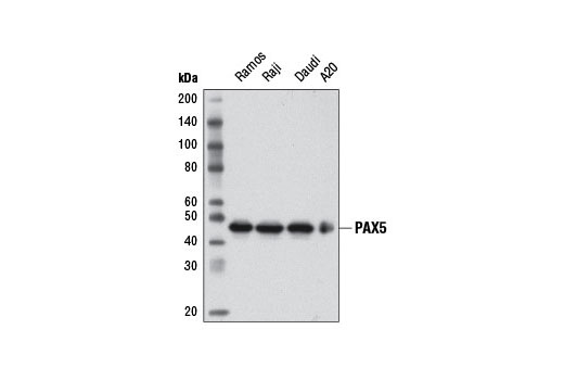 Western blot analysis of extracts from various cell lines using PAX5 (D19F8) XP<sup>®</sup> Rabbit mAb.