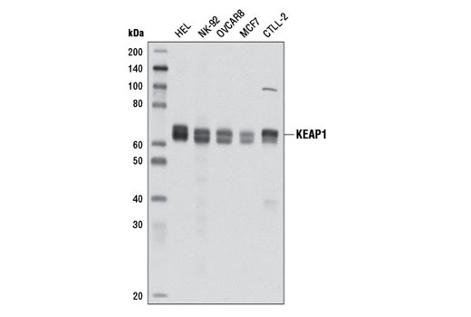 Western blot analysis of extracts from various cell lines using KEAP1 (D6B12) Rabbit mAb.