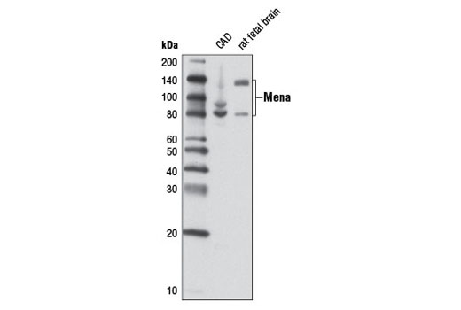 Monoclonal Antibody Immunoprecipitation Ww Domain Binding