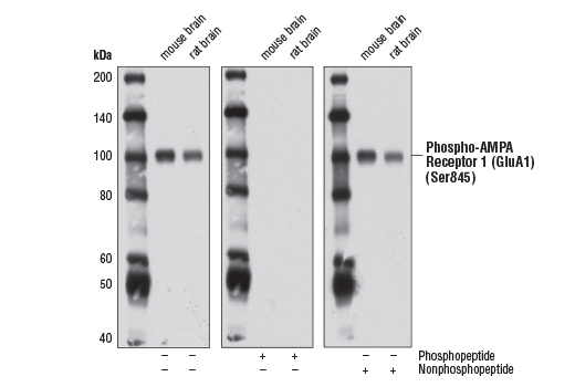 Western blot analysis of extracts from mouse brain and rat brain using Phospho-AMPA Receptor 1 (GluA1) (Ser845) (D10G5) Rabbit mAb. The phospho-specificity of the antibody was verified by blocking with a phospho or nonphosphopeptide.