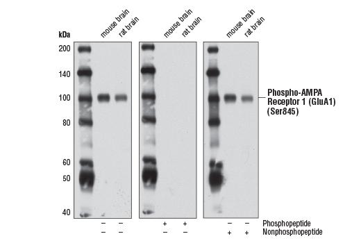 Monoclonal Antibody - Phospho-AMPA Receptor 1 (GluA1) (Ser845) (D10G5) Rabbit mAb, UniProt ID P42261, Entrez ID 2890 #8084 - #8084