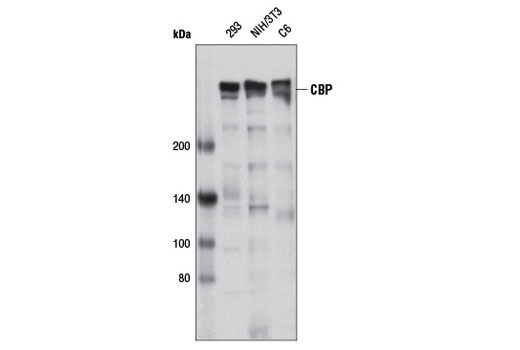 Western blot analysis of extracts from various cell lines using CBP (D9B6) Rabbit mAb.