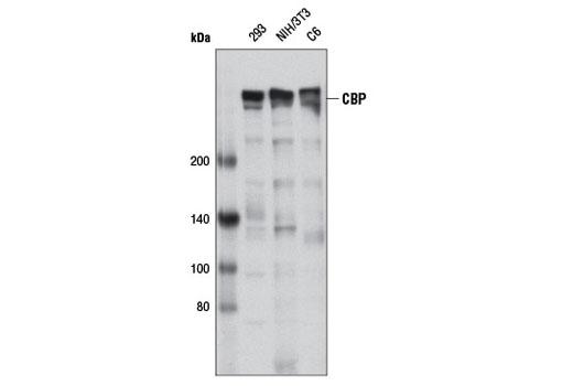 Monoclonal Antibody - CBP (D9B6) Rabbit mAb, UniProt ID Q92793, Entrez ID 1387 #7425 - #7425