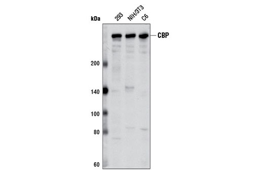 Western blot analysis of extracts from various cell lines using CBP (D6C5) Rabbit mAb.