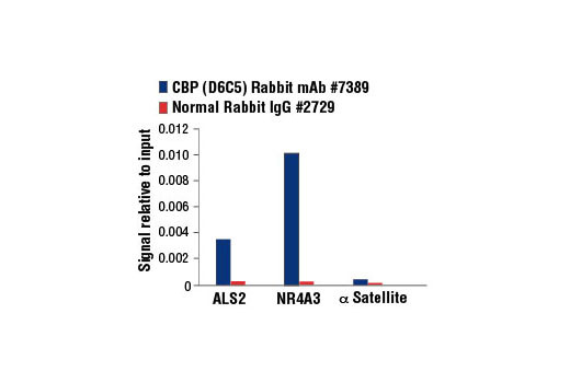 Chromatin immunoprecipitations were performed with cross-linked chromatin from 293 cells, treated with Forskolin #3828 (30 μM, 1h) and either CBP (D6C5) Rabbit mAb or Normal Rabbit IgG #2729, using SimpleChIP<sup>®</sup> Enzymatic Chromatin IP Kit (Magnetic Beads) #9003. The enriched DNA was quantified by real-time PCR using human ALS2 exon 1 primers, SimpleChIP<sup>®</sup> Human NR4A3 Promoter Primers #4829, and SimpleChIP<sup>®</sup> Human α Satellite Repeat Primers #4486. The amount of immunoprecipitated DNA in each sample is represented as signal relative to the total amount of input chromatin, which is equivalent to one.