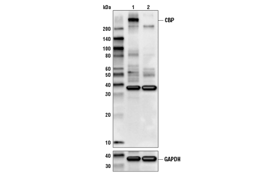 Western blot analysis of HEK293T Cell Extracts, untreated (-) or CBP knock-out (+) using CBP (D6C5) Rabbit mAb#7389 (upper) or GAPDH (D16H11) XP®Rabbit mAb#5174 (lower).