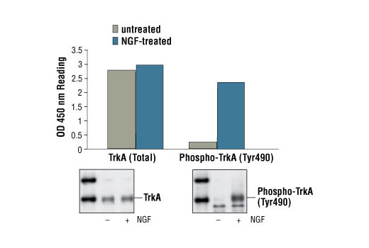 Figure 1. Treatment of 3T3/TrkA cells with NGF stimulates phosphorylation of TrkA at Tyr490, detected by PathScan<sup>®</sup> Phospho-TrkA (Tyr490) Sandwich ELISA kit #7210, but does not affect the level of total TrkA detected by PathScan<sup>®</sup> Total TrkA Sandwich ELISA kit #7208. OD 450 readings are shown in the top figure, while the corresponding Western blots using Phospho-TrkA (Tyr490) Antibody #9141 (right panel) or TrkA Rabbit mAb #2505 (left panel), are shown in the bottom figure. The human TrkA is expressed in 3T3/TrkA cells.