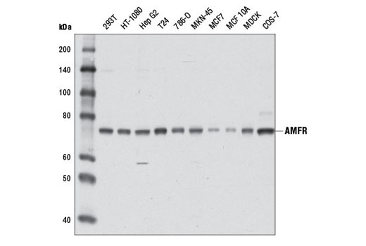 Polyclonal Antibody Immunoprecipitation Positive Regulation of Protein Binding