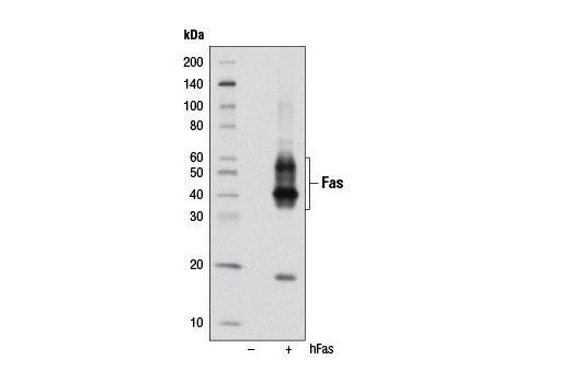 Western blot analysis of extracts from 293T cells, mock transfected (-) or transfected (+) with a human Fas construct, using Fas (4C3) Mouse mAb.