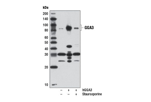 Monoclonal Antibody - GGA3 (D66F1) Rabbit mAb - Immunoprecipitation, Western Blotting, UniProt ID Q9NZ52, Entrez ID 23163 #8027, Neuroscience