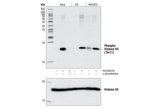 Western blot analysis of lysates from HeLa, C6 and NIH/3T3 cells treated for 24 hours with or without nocodazole and also with or without λ phosphatase, using Phospho-Histone H3 (Thr11) Antibody #9764 (upper) or Histone H3 Antibody #9715 (lower).