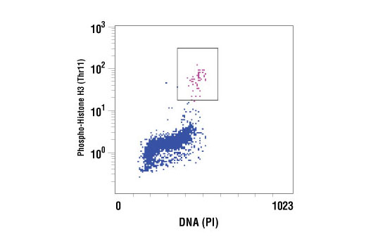 Flow cytometric analysis of untreated Jurkat cells, using Phospho-Histone H3 (Thr11) Antibody versus propidium iodide (DNA content). The boxed population indicates Phospho-Histone H3 (Thr11)-positive cells.