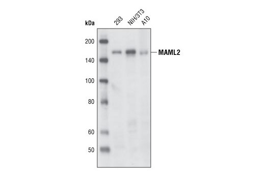 Polyclonal Antibody - MAML2 Antibody - Immunoprecipitation, Western Blotting, UniProt ID Q8IZL2, Entrez ID 84441 #4618 - Developmental Biology