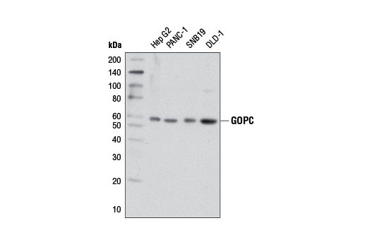 Western blot analysis of extracts from various cell lines using GOPC (D10A12) Rabbit mAb.