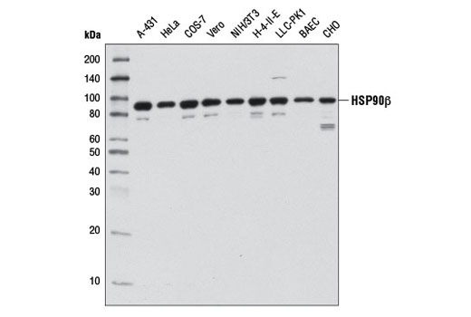 Western blot analysis of extracts from various cell lines using HSP90β (D3F2) Rabbit mAb.