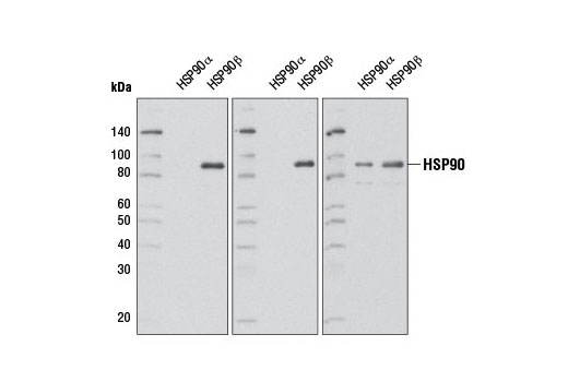 Isoform specificity of HSP90 antibodies using human recombinant HSP90α and HSP90β expressed in <i>Spodoptera frugiperda</i> cells. Purified proteins (100 ng each) were resolved by SDS-PAGE and detected by western blot using HSP90β (D3F2) Rabbit mAb (left panel), HSP90β Antibody #5087 (center panel), or HSP90 Antibody #4874 (right panel).