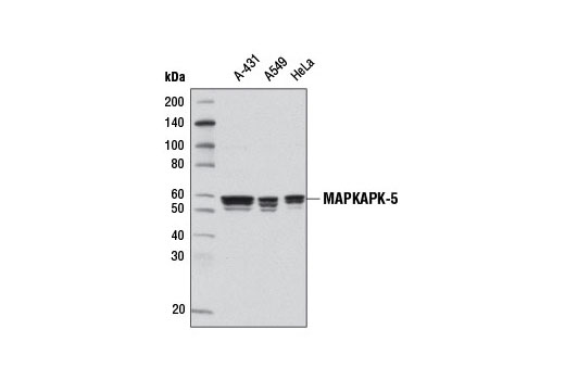 Monoclonal Antibody - MAPKAPK-5 (D70A10) Rabbit mAb - Western Blotting, UniProt ID Q8IW41, Entrez ID 8550 #7419, Antibodies to Kinases