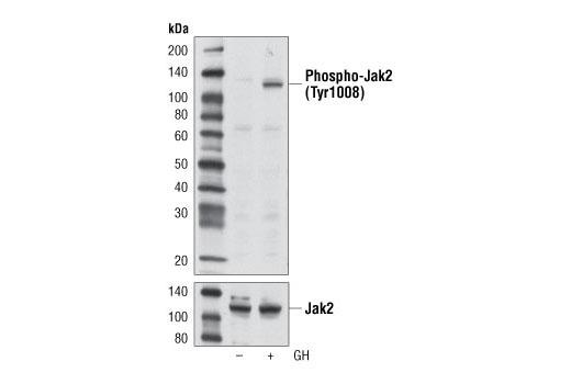 Monoclonal Antibody Western Blotting Jak-Stat Cascade