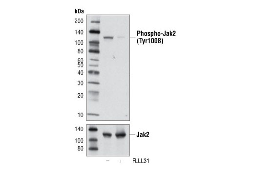 Western blot analysis of extracts from SET-2 cells, untreated or treated with the Jak2 inhibitor FLLL31 (10 μM, 4 hr), using Phospho-Jak2 (Tyr1008) (D4A8) Rabbit mAb (upper) or total Jak2 (D2E12) XP<sup>®</sup> Rabbit mAb #3230 (lower).