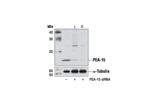 siRNA Activation of MAPK Activity