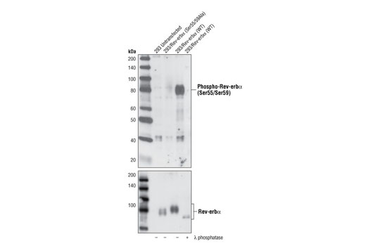 Polyclonal Antibody Western Blotting Circadian Thermoregulation