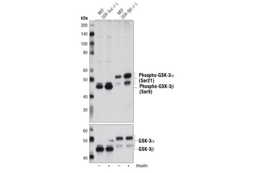 Western blot analysis of extracts from GSK-3α (-/-) and GSK-3β (-/-) mouse embryonic fibroblasts (MEF), untreated or insulin-treated (100 ng/ml, 20 min) , using Phospho-GSK-3α/β (Ser21/9) (D17D2) Rabbit mAb (upper) and GSK-3α/β (D75D3) XP<sup>®</sup> Rabbit mAb #5676 (lower). (MEF GSK-3α (-/-) and GSK-3β (-/-) cells were kindly provided by Dr. Jim Woodgett, University of Toronto, Canada).