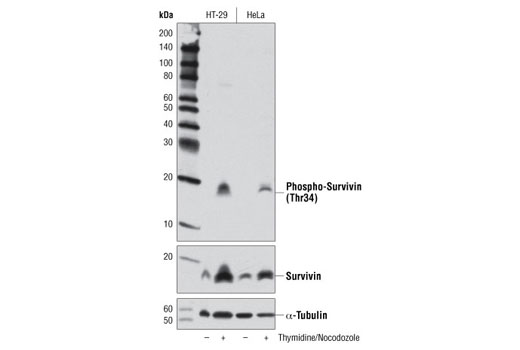 Western blot analysis of HT-29 and HeLa cells, untreated or synchronized in mitosis by thymidine block (2 mM, 17 hr) followed by nocodozole treatment (100 ng/ml, 24 hr), using Phospho-Survivin (Thr34) (D2E11) Rabbit mAb (top), Survivin (71G4B7) Rabbit mAb #2808 (middle), or α-Tubulin (11H10) Rabbit mAb #2125 (lower).